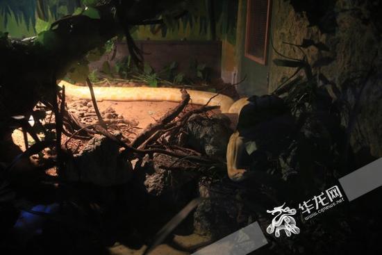 还在适应环境的蟒蛇 记者 刘嵩 摄