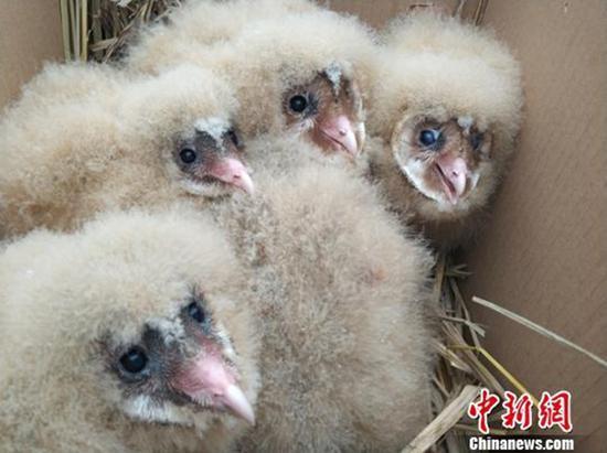 村民将猴面鹰幼鸟带回家,并用大纸箱装着。