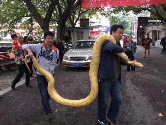 工作人员将蟒蛇抬到笼舍内 图片来源网络