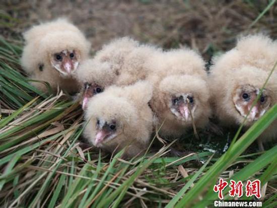 5只猴面鹰幼鸟。 本文图均为 中新网 图