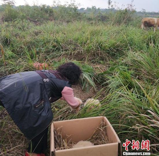 村民将5只猴面鹰幼鸟放回原处。