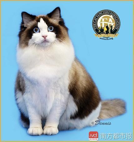 可爱的布偶猫价格不菲。网络资料图