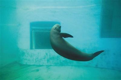 武汉白鱀豚馆内人工饲养的江豚。