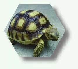 中非陆龟(苏卡达陆龟)