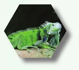 美洲鬣蜥(绿鬣蜥)