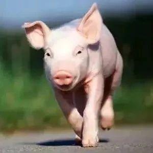 天津猪肉价格怎么走?三巨头来了