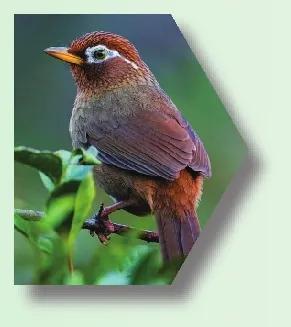 我市常见非法交易野生动物 画眉鸟