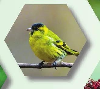 黄雀(黄鸟)