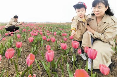 昨天,北辰区双街花卉博览园第二届郁金香文化节开幕。园内种植的200余个品种郁金香陆续绽放,吸引了许多市民踏青赏花。