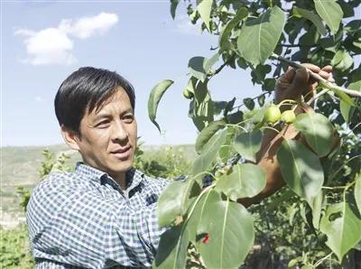 扎西昂秀查看黄果梨的生长情况。