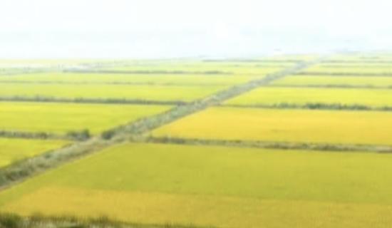(图一:小辛码头村水稻种植地远景)