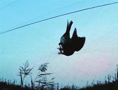 被捕鸟网捕获的鸟