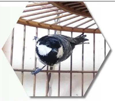 笼中的煤山雀