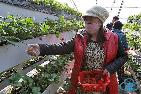 大棚内的工作人员采摘草莓