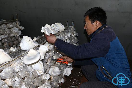 采摘白灵菇