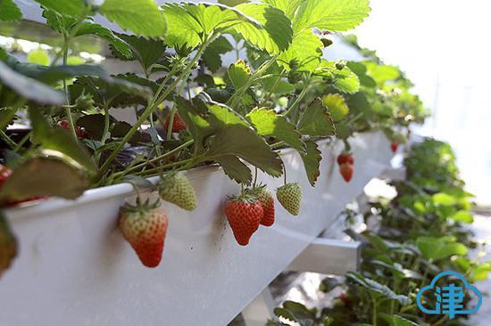 无农药草莓可直接食用