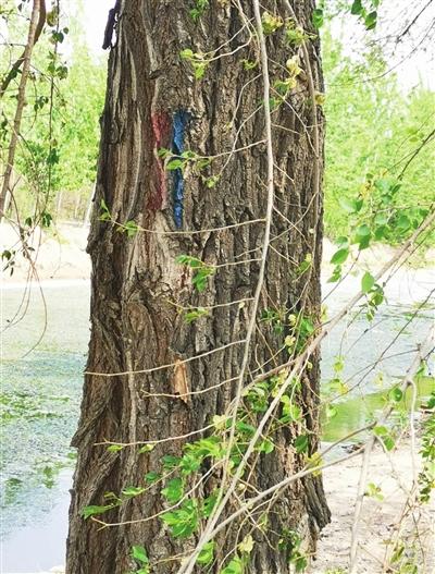 被刷漆标的大树