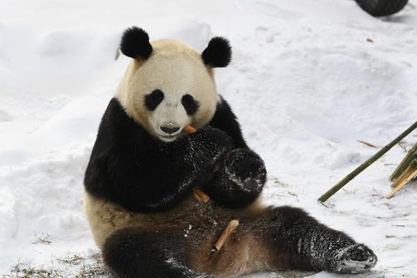 """大熊猫雪地开""""吃播"""" 尽显""""吃货""""本色"""