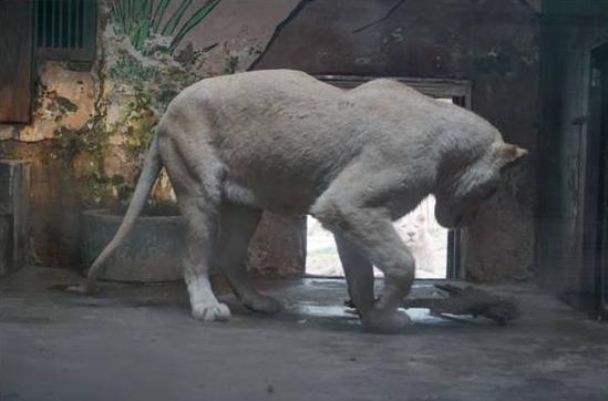 老骨雕刻狮子制品照片