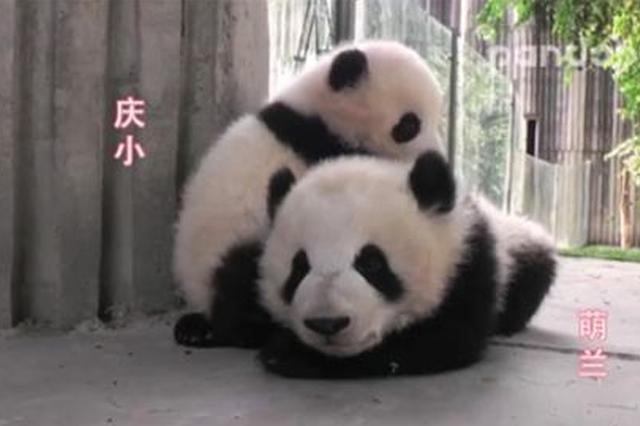 大熊猫给小伙伴按摩 萌化了!