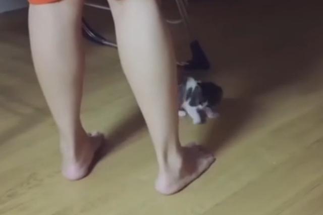 练习捕猎的小奶猫 迷上了人类的脚
