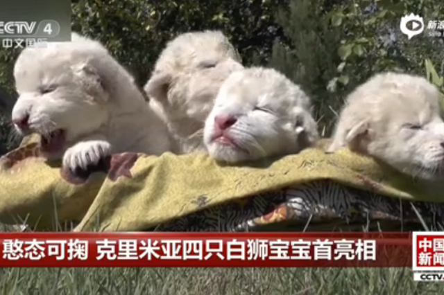 憨态可掬 克里米亚四只白狮宝宝首亮相