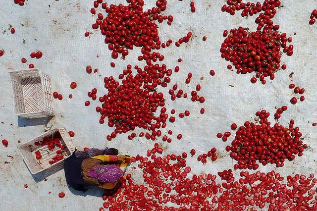 俯瞰土耳其工人制番茄干 红艳艳如鲜花绽放