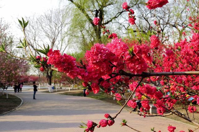 新桃花园3月22日开放 多条公交线路可到达