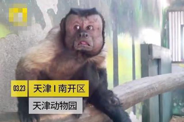 """""""人脸猴""""火了 天津动物园饲养员却开始担心"""