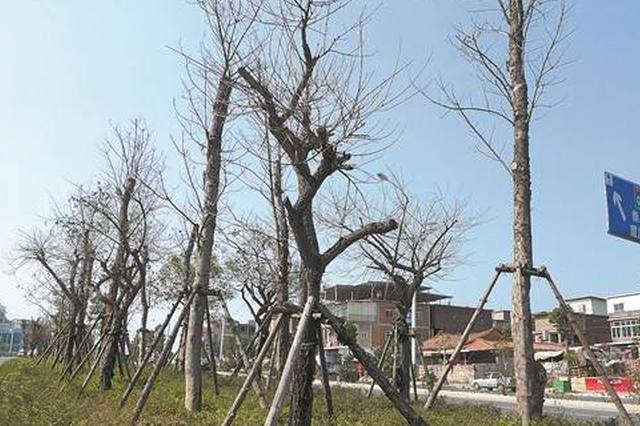 北辰区南仓桥下便道上行道树枯死三年无人管