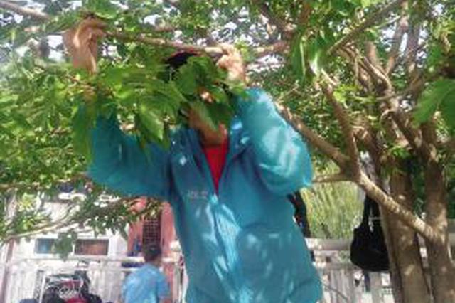 桑葚好吃小心农药残留 建议天津市民不要采摘食用