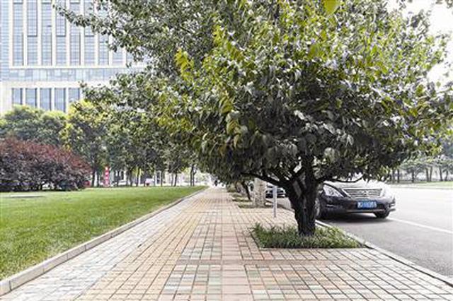 便道上景观树枝繁叶茂拦路 天津居民盼修剪