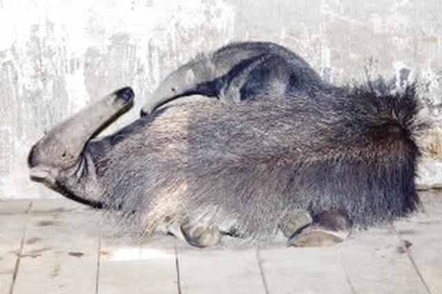 天津人十一好去处 到动物园看大食蚁兽宝宝吧
