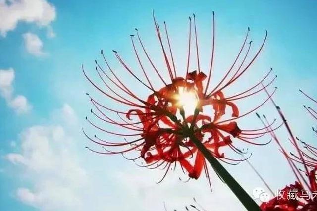 美腻了!天津网友跟拍一个月拍到彼岸花盛开