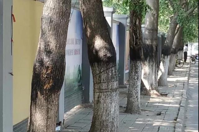 天津这条路上的树怎么了 看园林部门怎么解释