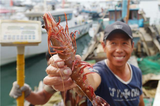 青岛秋捕喜人 渔民收获罕见大竹节虾
