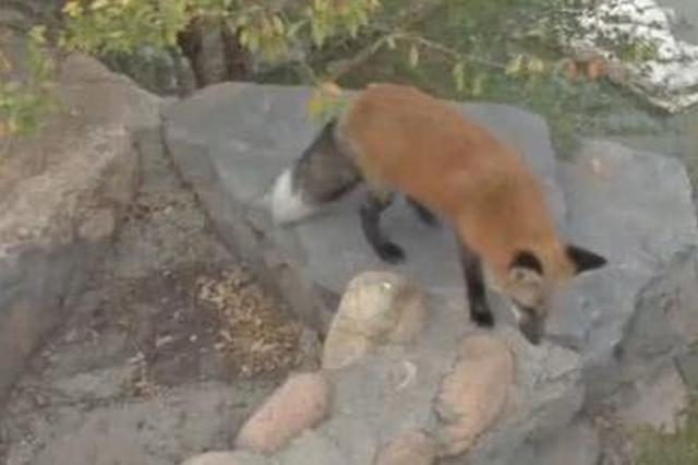 天津一公园惊现狐狸 居然还找人要吃的