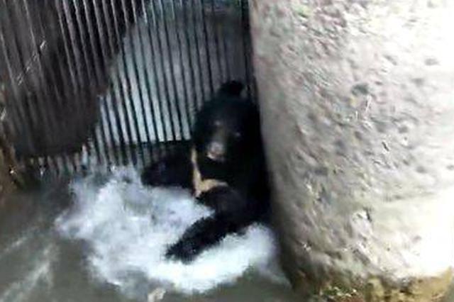 惊险!500斤重黑熊掉入水中泡了一天 挖掘机将它救起