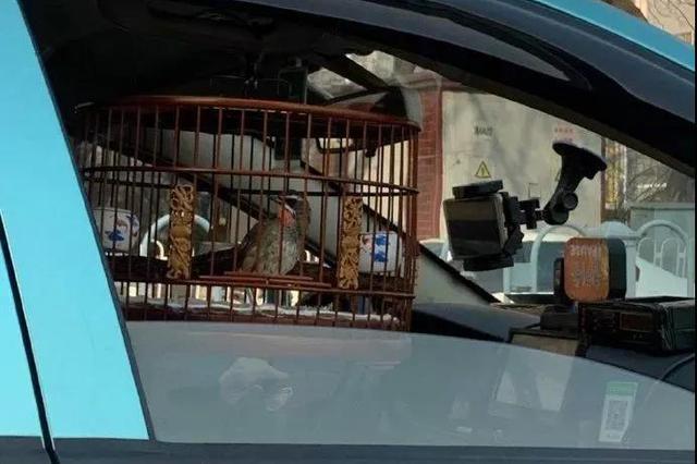 """天津的哥开车遛鸟 鸟也没系安全带随时随地""""盘""""它"""