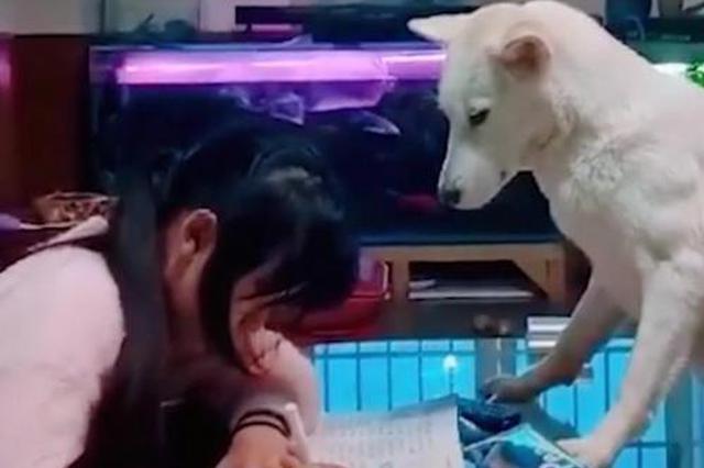 父亲养狗监督女儿做作业 网友:狗子为这个家操碎了心