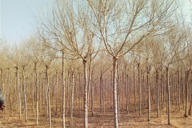 """200亩苗圃或面临被砍伐 谁为6万棵树苗找""""婆家"""""""