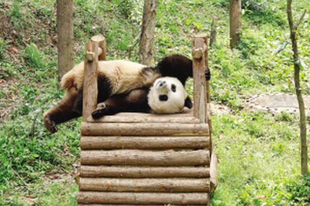 两只大熊猫赴俄开启为期15年中俄大熊猫保护研究合作项目