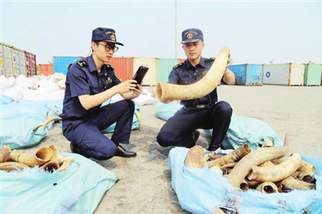 未获准入资格 天津海关退运28吨牛角