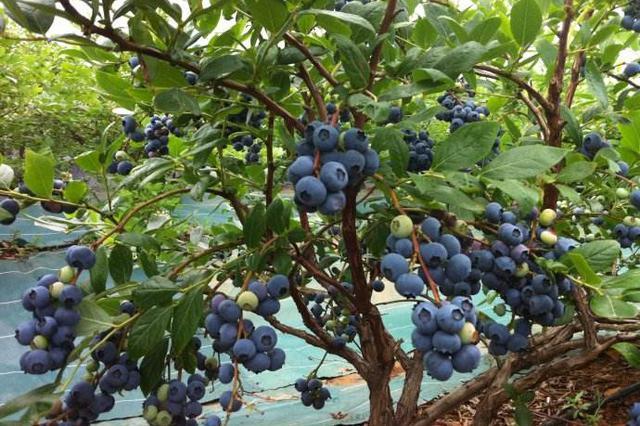 养猪场变成了蓝莓园──蓟州区开展农村人居环境整治见闻
