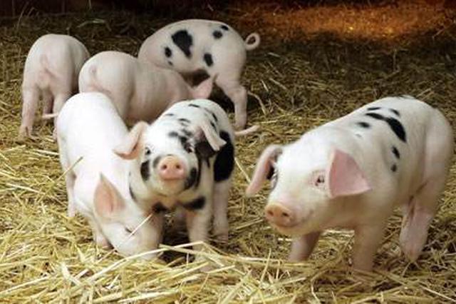 年底前生猪产能有望回升 市场供应明年有望基本恢复