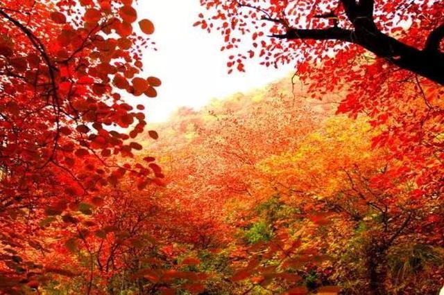 """秋雨过后温度回升 至11月初""""赏红""""渐入佳境"""