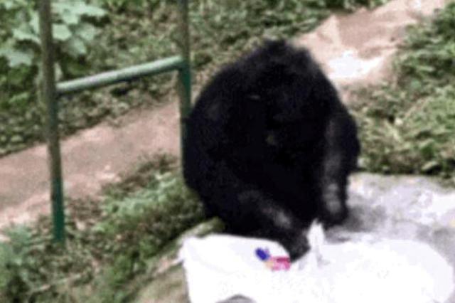 黑猩猩为饲养员洗衣服 动作娴熟!网友纷纷@自家老公