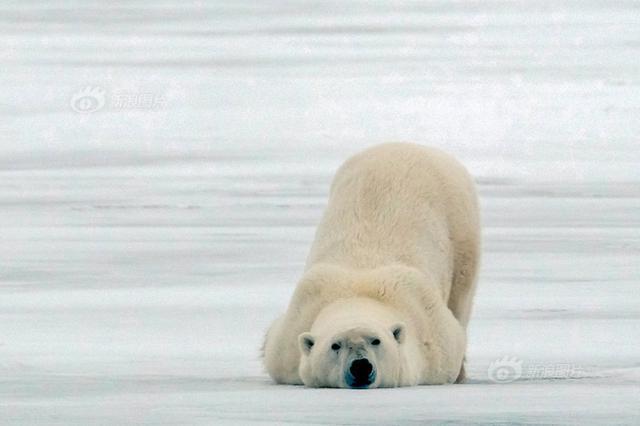 加拿大一北极熊撅屁股动作滑稽 像极了赖床的你