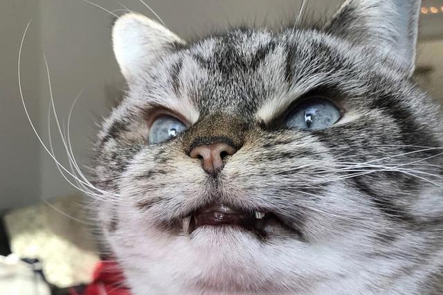 """美国猫咪天生长着""""吸血鬼""""獠牙 奶凶奶凶的"""