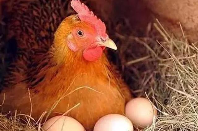 先有鸡还是先有蛋?6.1亿年前化石给出答案:先有蛋!